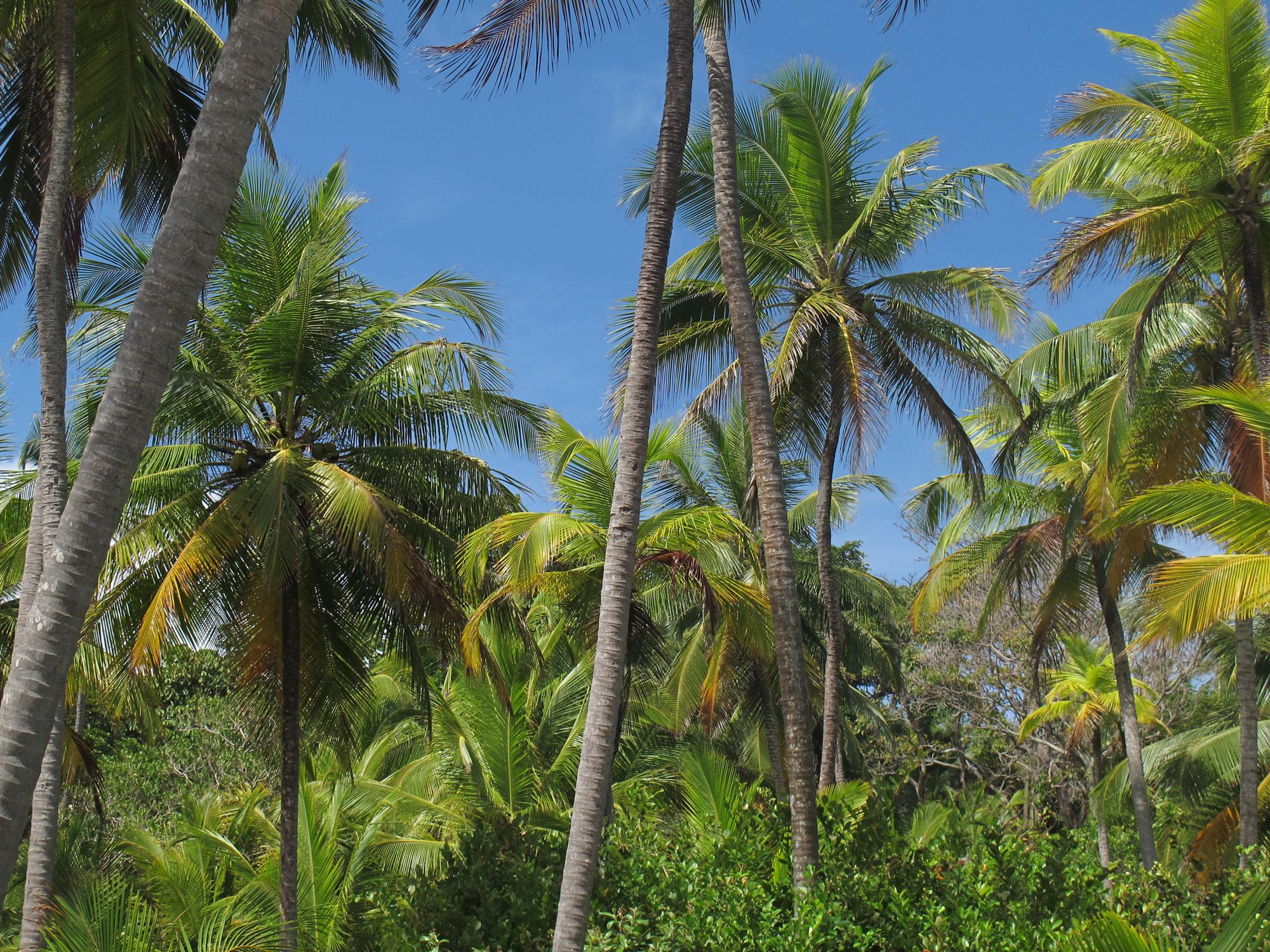 Palmas de las Islas Caribeñas